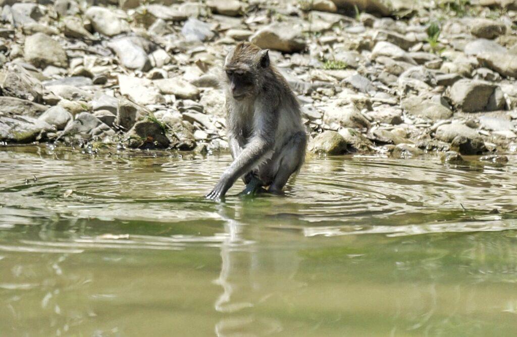 singe rivière khao sok